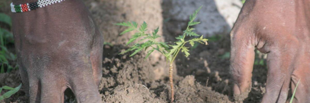 baum wird gepflanzt